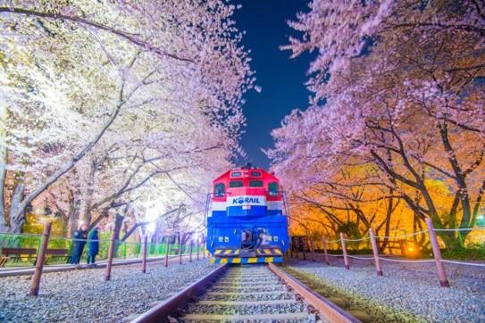 Cherry Blossom Festival 이미지
